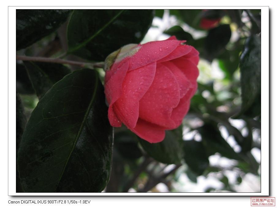 一棵茶花树开了四种颜色的花 江阴论坛 江阴房产网 江阴